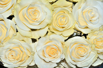 Beautiful floral background with amazing white roses with a yellow tint