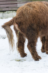 Long-haired cow urinating on snow.