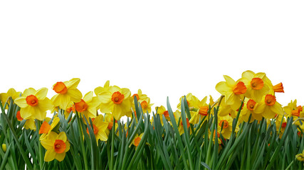Bright yellow of Easter bells daffodils (Narcissus) spring flower field in springtime isolated on white background, clipping path included.