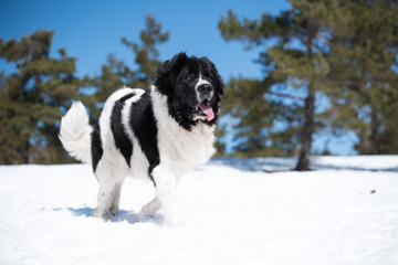 landseer in the snow winter white playing pure breed