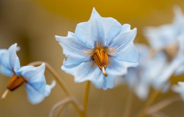 """Blüten der Kartoffel """" Blauer Schwede"""""""