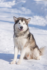 dog malamute for a walk in winter in a park in the snow