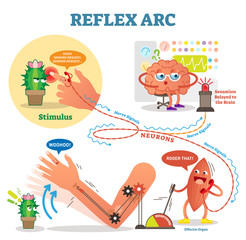 Spinal Reflex Arc scheme, vector illustration, with stimulus pathway through the nerve signals and muscle response. Diagram with fun cartoon characters.