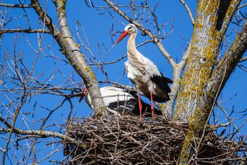 Cigüeñas blancas en el nido en un chopo. Ciconia ciconia.