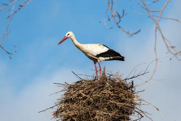 Cigüeña blanca en el nido. Ciconia ciconia.