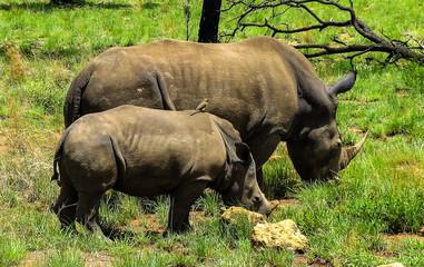 Breitmaulnashorn Mutter mit Kind in Savanne in Südafrika