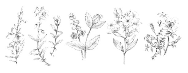 Handsketched Flower and Plant Illustrations - Pencil Graphite Sketches of Flowers and Plants