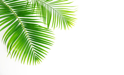 Acrylic Prints Palm tree GReen leaves palm isolated on white background.
