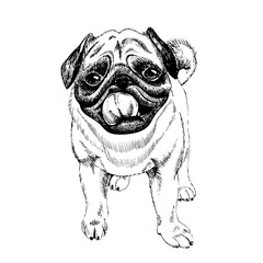 Portrait of pug dog. Hand drawn illustration. Vector engraved art. Friendly smilling puppy isolated on white background. Pet shelter, flyer, poster, clothing prints. Sketched poster