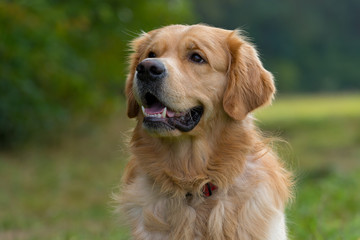 Portrait of a purebred Golden Retriever outside in nature. Mouth open, smiling friendly. Halfprofile picture.