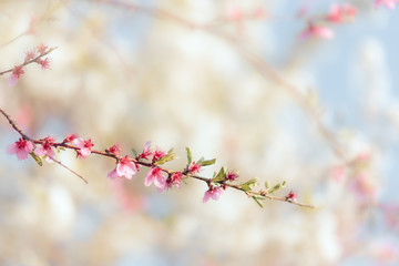 Beautiful Spring Tree Branch in Blossom