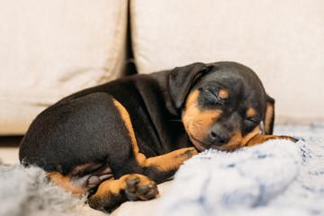 Small Black Miniature Pinscher Zwergpinscher, Min Pin Puppy Dog