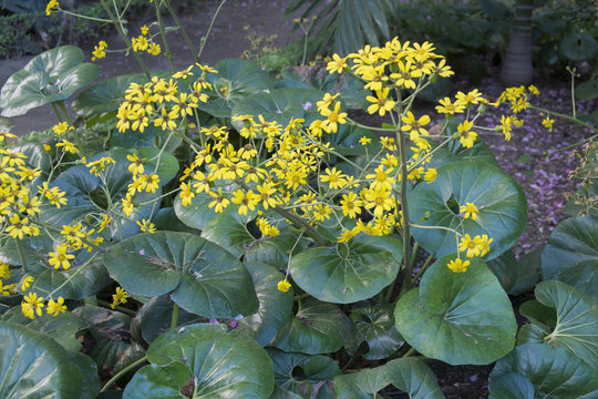 Ligularia Tussilaginea / Farfugium Japonicum
