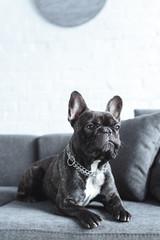 Foto op Aluminium Franse bulldog Close-up view of cute french bulldog lying on grey sofa