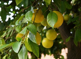 Nice citrus hybrid fruits on the tree in a gloomy day, purposely blurred, selective focus on the foreground fruit