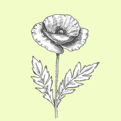 California poppy flowers drawn and sketch with line-art on white