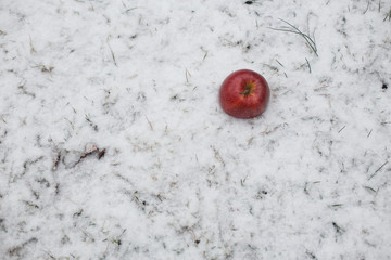 Red apple on snow close up in frosty winter day