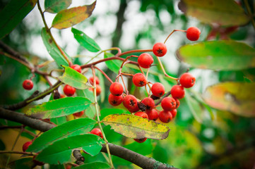 red, berry, berries, fruit, green, tree, nature, branch, garden, plant, currant, food, ripe, bush, cherry, leaf, summer, autumn, leaves, bunch, fruits, sweet, viburnum, rowan, healthy