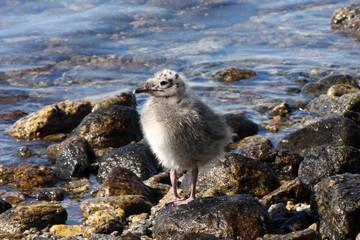 Chicks Gulls, Norway