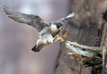 Printed roller blinds Bird Peregrine Falcon
