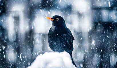 Blackbird in winter snowstorm