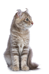 Lilac blotched tabby American Curl cat / kitten front facing  the camera looking side ways / profile isolated on white background