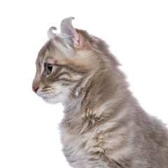 Profile head shot from Lilac blotched tabby American Curl cat / kitten looking to the side isolated on white background