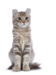Lilac blotched tabby American Curl cat / kitten sitting straight up front side  to camera looking next to the camera isolated on white background