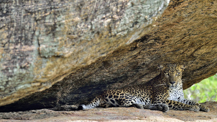 Leopard on a rock. The Female of Sri Lankan leopard (Panthera pardus kotiya). Sri Lanka. Yala National Park.