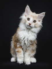 Creme Maine Coon cat / kitten sitting with tilted paw  in the air frontal to camera isolated on black background