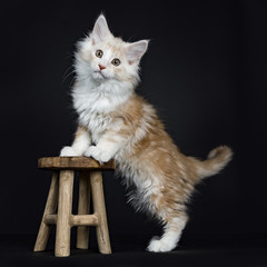 creme Maine Coon cat / kitten standing with front paws on a wooden stool facing camera isolated on black background.