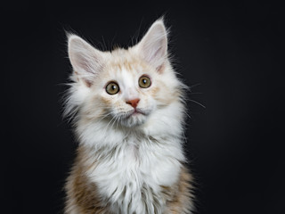 Head shot of creme Maine Coon cat / kitten looking at camera isolated on black background