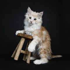 Creme Maine Coon cat / kitten being clumpsy while trying to stand with front paws on wooden stool facing camera isolated on black background