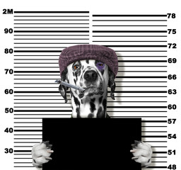 Criminal dog at the police station. Photo on white