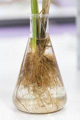Tap Root and Fibrous root for education in Lab.
