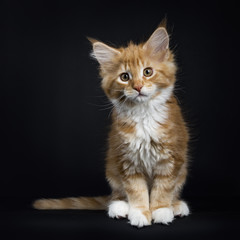Red tabby with white Maine Coon cat / kitten sitting facing the camera with tail to the side isolated on black background
