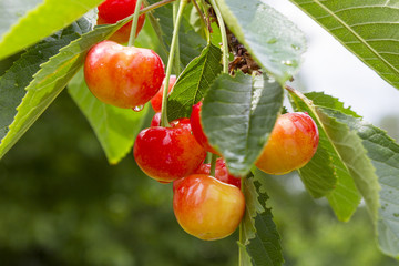 Cherry tree with ripe cherries in the garden. After the rain. Healthy food