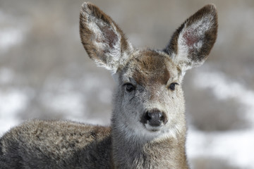 Curious young female mule deer finds food during winter in Colorado
