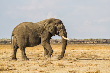 Big elephant bull standing on the dry savanna in Etosha National Park in Namibia