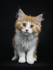 Red tabby high white Maine Coon cat / kitten walking towards the camera looking curious isolated on black background.