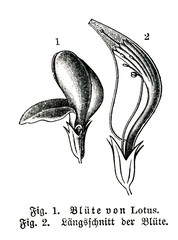 Flower of plant from fabaceae genus Lotus, for instance bird's-foot trefoils (from Meyers Lexikon, 1896, 13/493)