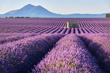 Papiers peints Lavande Lavender fields in Plateau de Valensole with a stone house in Summer. Alpes de Haute Provence, PACA Region, France