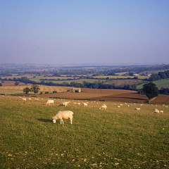 England, Gloucestershire, sheep in the Cotswold landscape