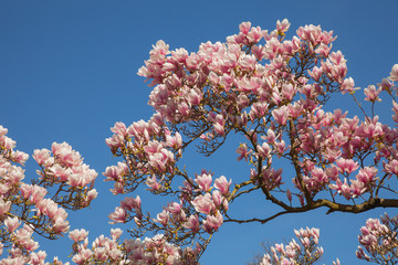 beautiful magnolia trees in full blossom with pink and white flowers, springtime park background