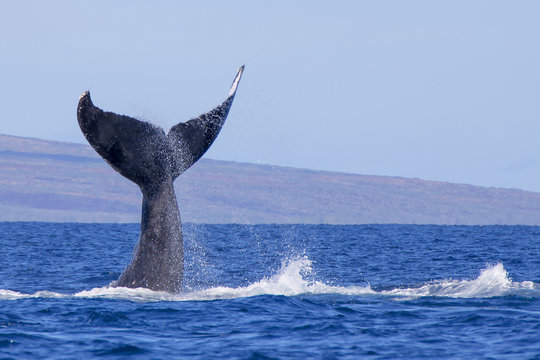 Humpback Whale Tail Emerges Straight Up From Ocean