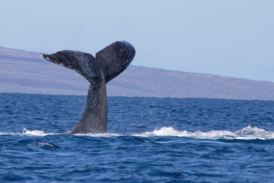Humpback Whale Tail in Hawaii Ocean Seascape