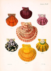 Illustration of shells.