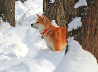 the dog plays in snow in the winter park