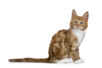 Red tabby Maine Coon cat / kitten sitting sideways tail straight behind him looking to the camera isolated on white background.