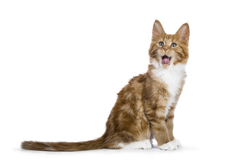 Yawning red tabby Maine Coon cat / kitten sitting sideways isolated on white background
